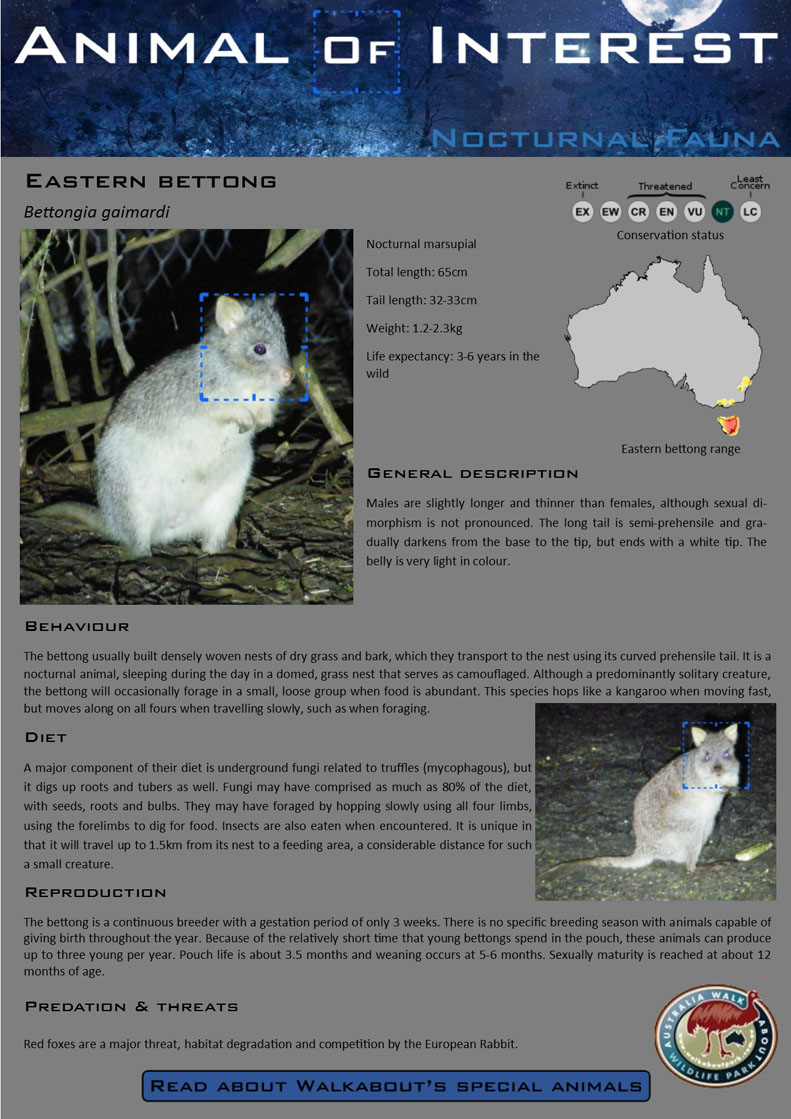 AOI Eastern Bettong