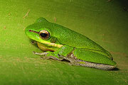 eastern-dwarf-tree-frog