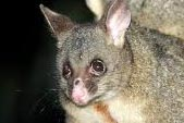 brush-tailed-possum