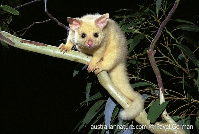 brush tailed possum2