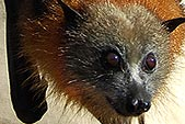 grey-headed-flying-fox