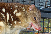 spotted-tail-quoll-thmb