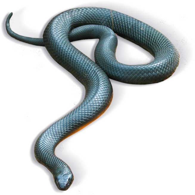 red-bellied-snake