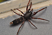 white tailed spider thmb